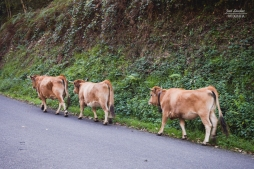 Vacas circulando